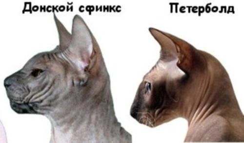 питерский сфинкс отличия